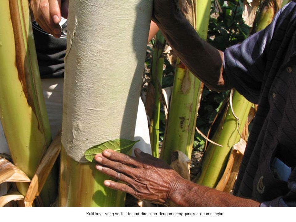 Kulit kayu yang sedikit terurai diratakan dengan menggunakan daun nangka