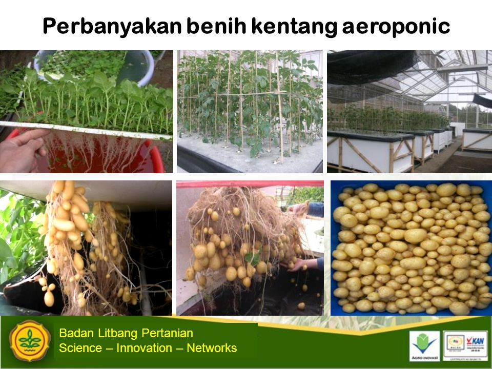 Perbanyakan benih kentang aeroponic
