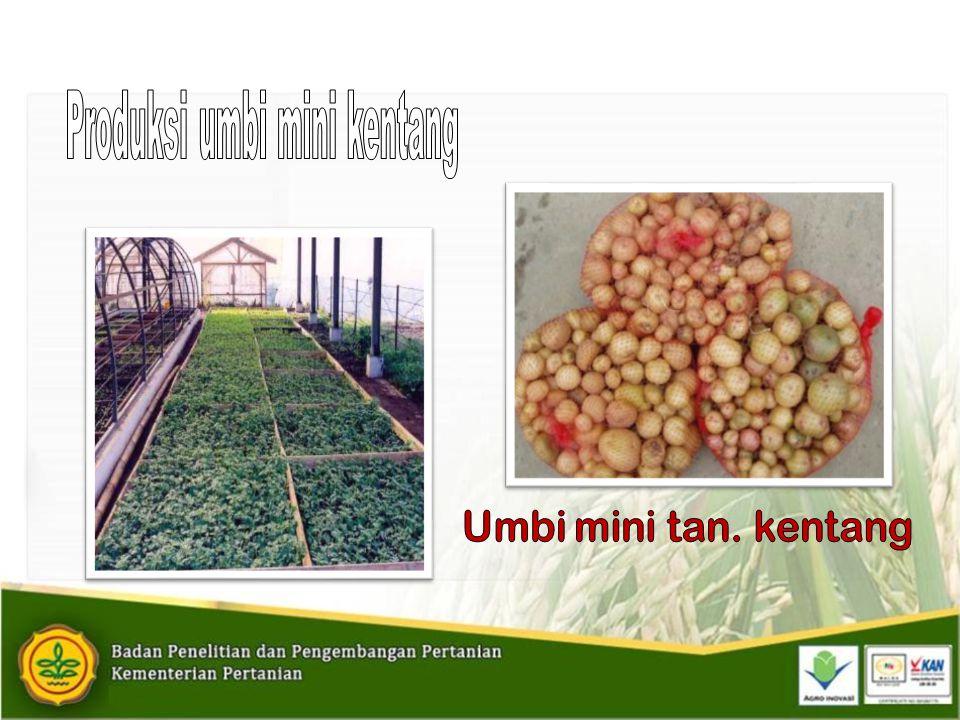 Produksi umbi mini kentang