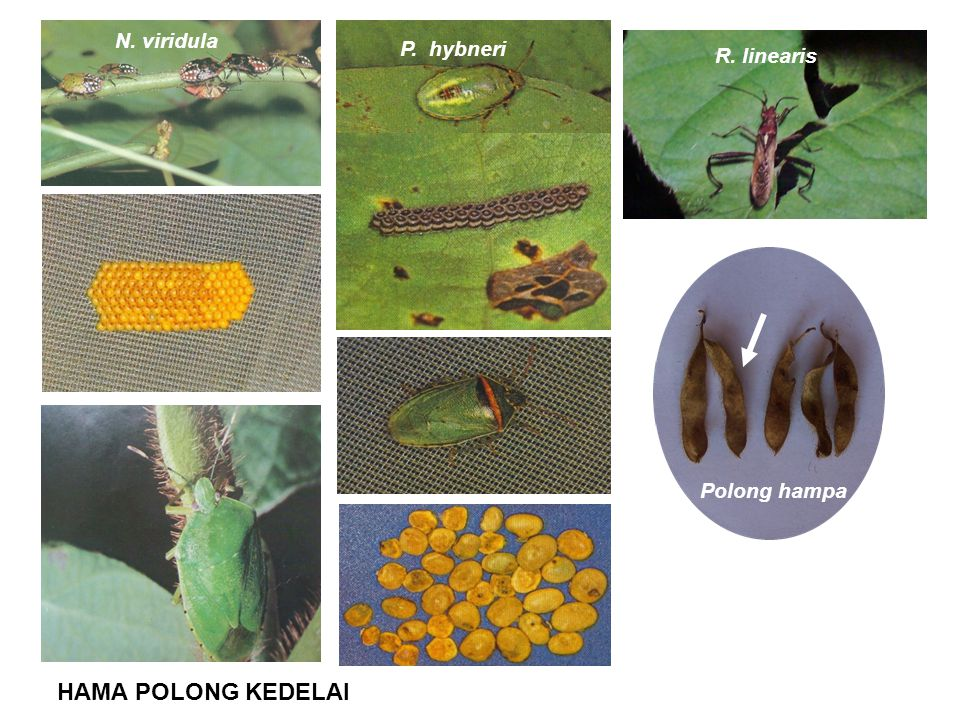 N. viridula P. hybneri R. linearis Polong hampa HAMA POLONG KEDELAI