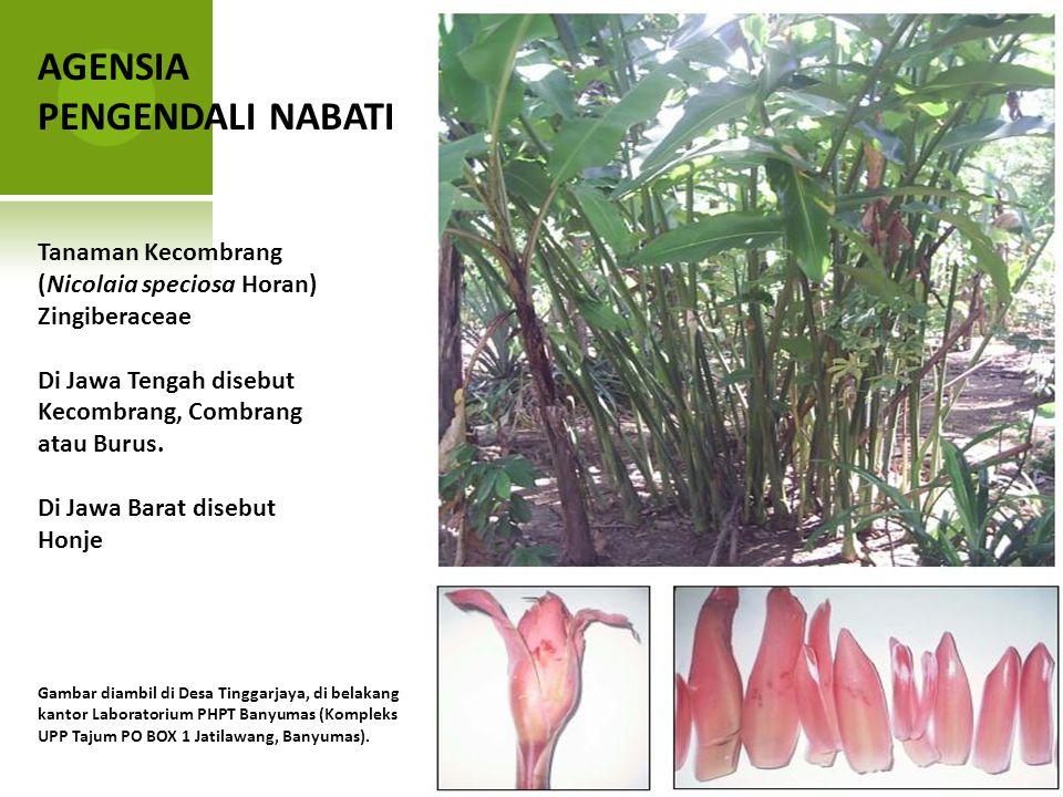 AGENSIA PENGENDALI NABATI Tanaman Kecombrang (Nicolaia speciosa Horan)