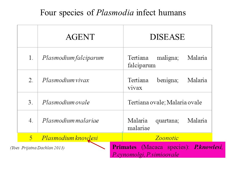 Four species of Plasmodia infect humans