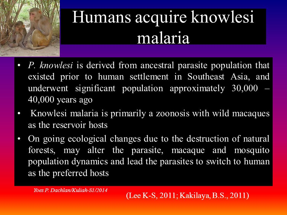 Humans acquire knowlesi malaria