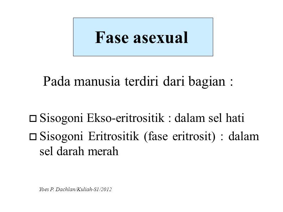 Fase asexual Pada manusia terdiri dari bagian :