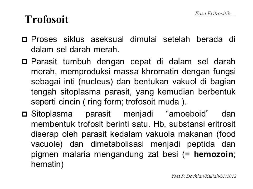 Fase Eritrositik ... Trofosoit. Proses siklus aseksual dimulai setelah berada di dalam sel darah merah.