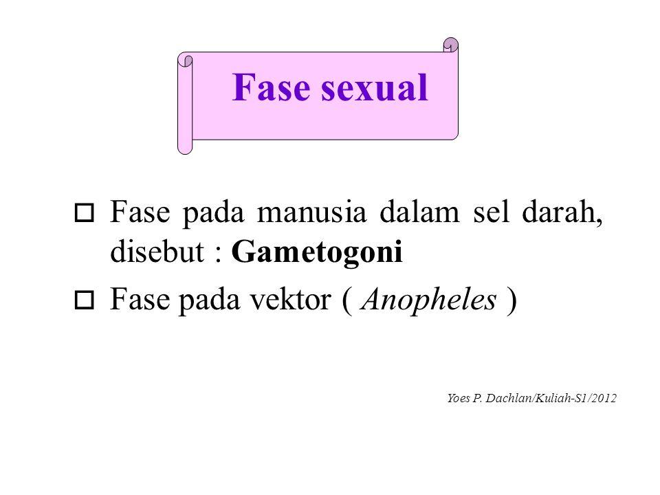 Fase sexual Fase pada manusia dalam sel darah, disebut : Gametogoni