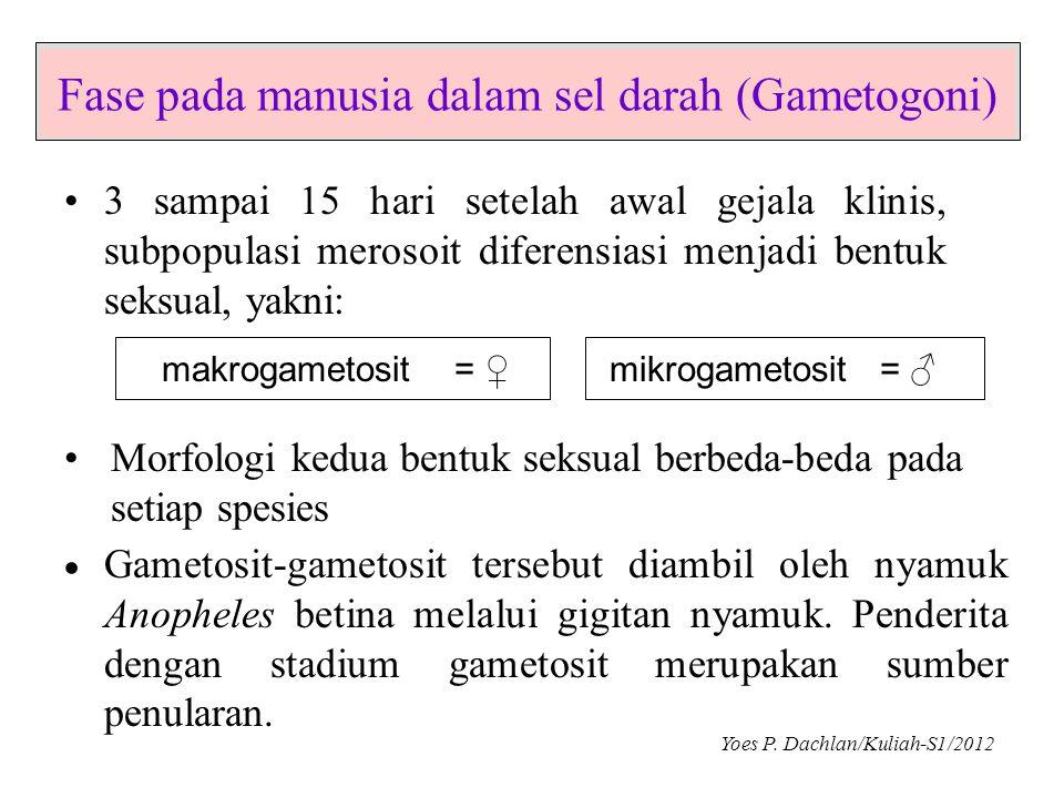 Fase pada manusia dalam sel darah (Gametogoni)