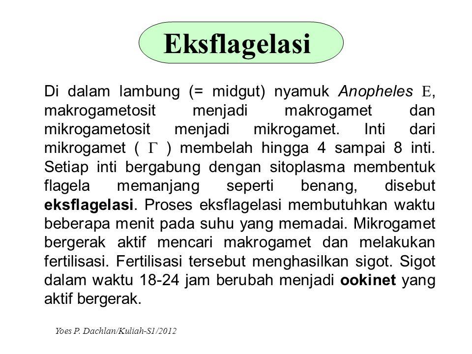 Eksflagelasi