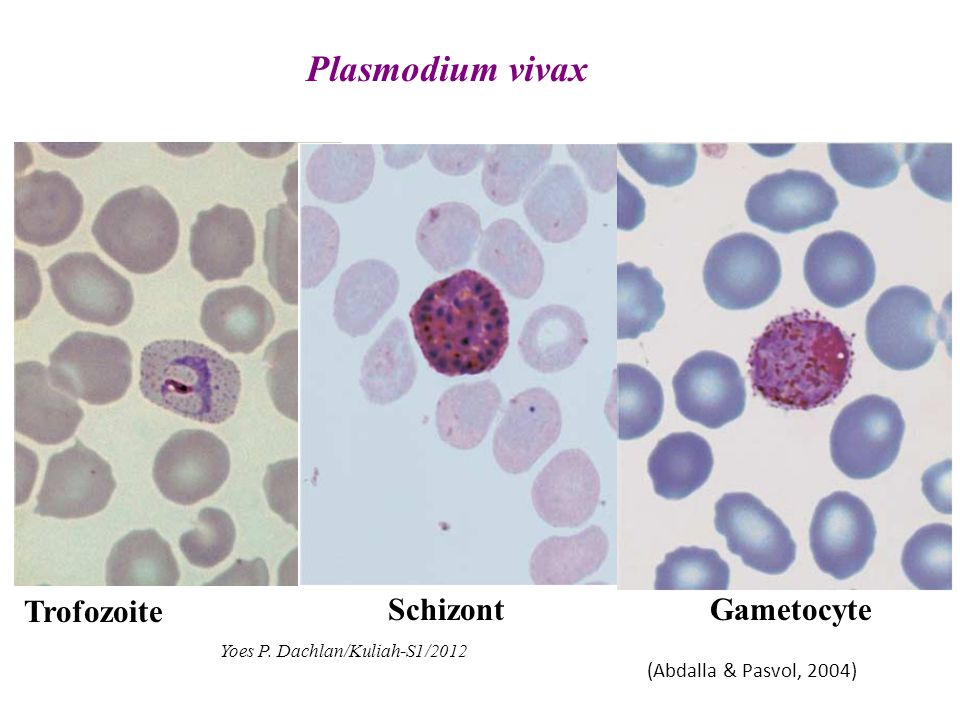 Plasmodium vivax Trofozoite Schizont Gametocyte