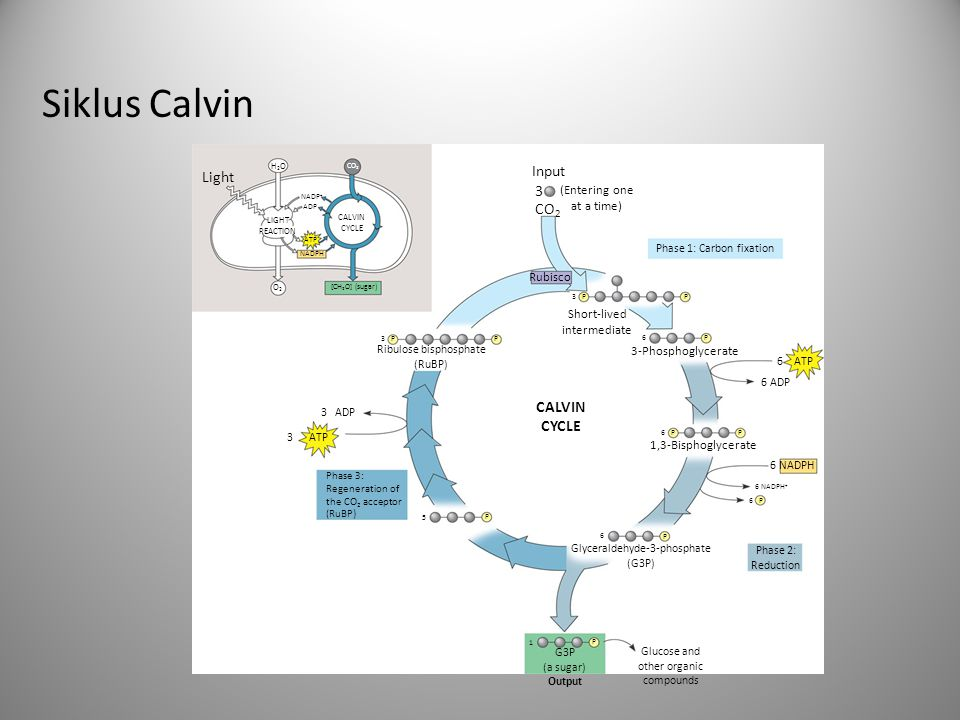 Siklus Calvin Input Light 3 CO2 CALVIN CYCLE (Entering one at a time)