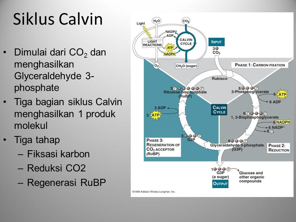 Siklus Calvin Dimulai dari CO2 dan menghasilkan Glyceraldehyde 3-phosphate. Tiga bagian siklus Calvin menghasilkan 1 produk molekul.