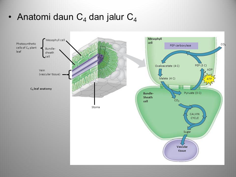 Anatomi daun C4 dan jalur C4