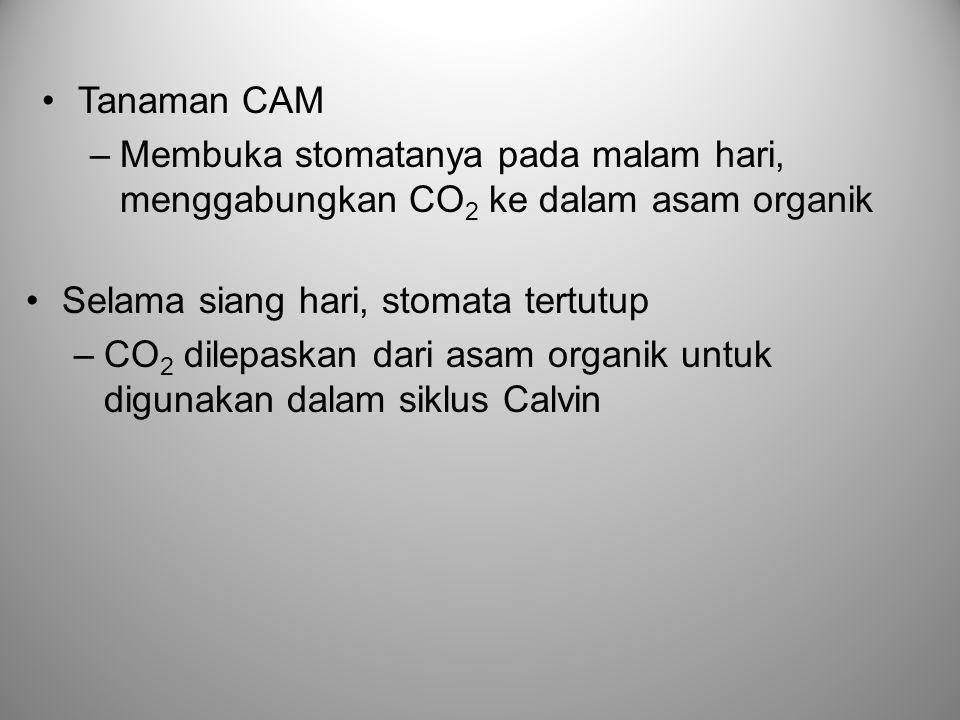 Tanaman CAM Membuka stomatanya pada malam hari, menggabungkan CO2 ke dalam asam organik. Selama siang hari, stomata tertutup.