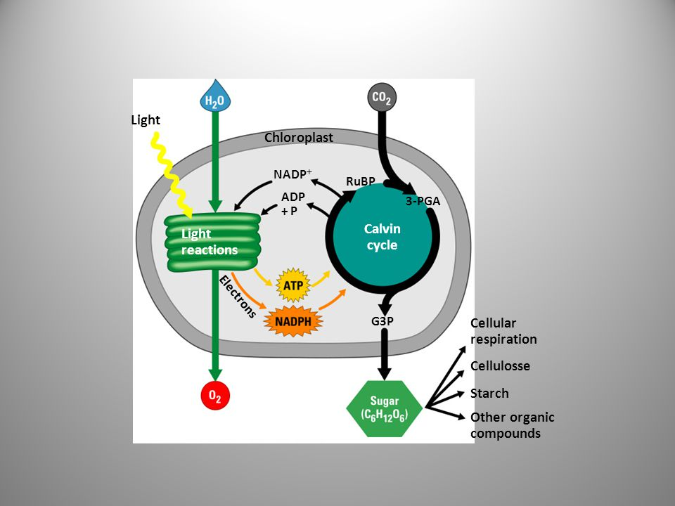 Light Chloroplast Calvin cycle reactions Cellular respiration