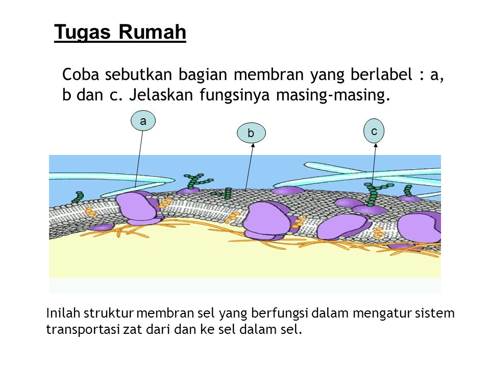 Tugas Rumah Coba sebutkan bagian membran yang berlabel : a, b dan c. Jelaskan fungsinya masing-masing.