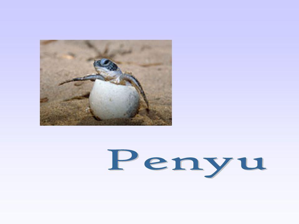Penyu