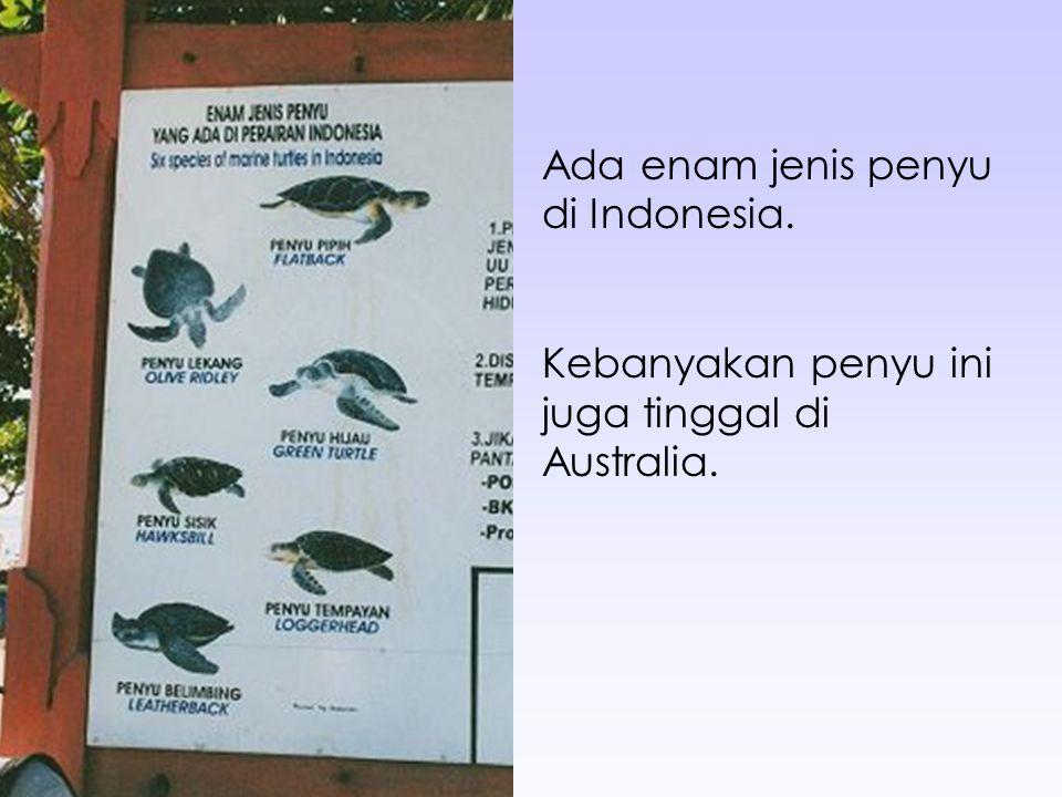 Ada enam jenis penyu di Indonesia.