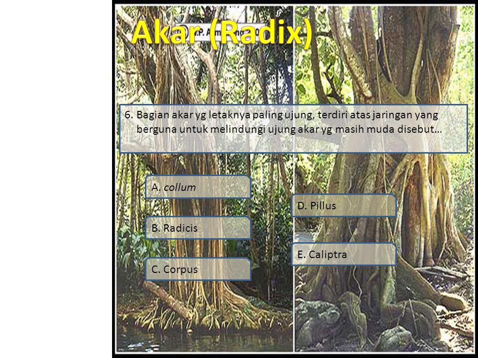 6. Bagian akar yg letaknya paling ujung, terdiri atas jaringan yang berguna untuk melindungi ujung akar yg masih muda disebut…
