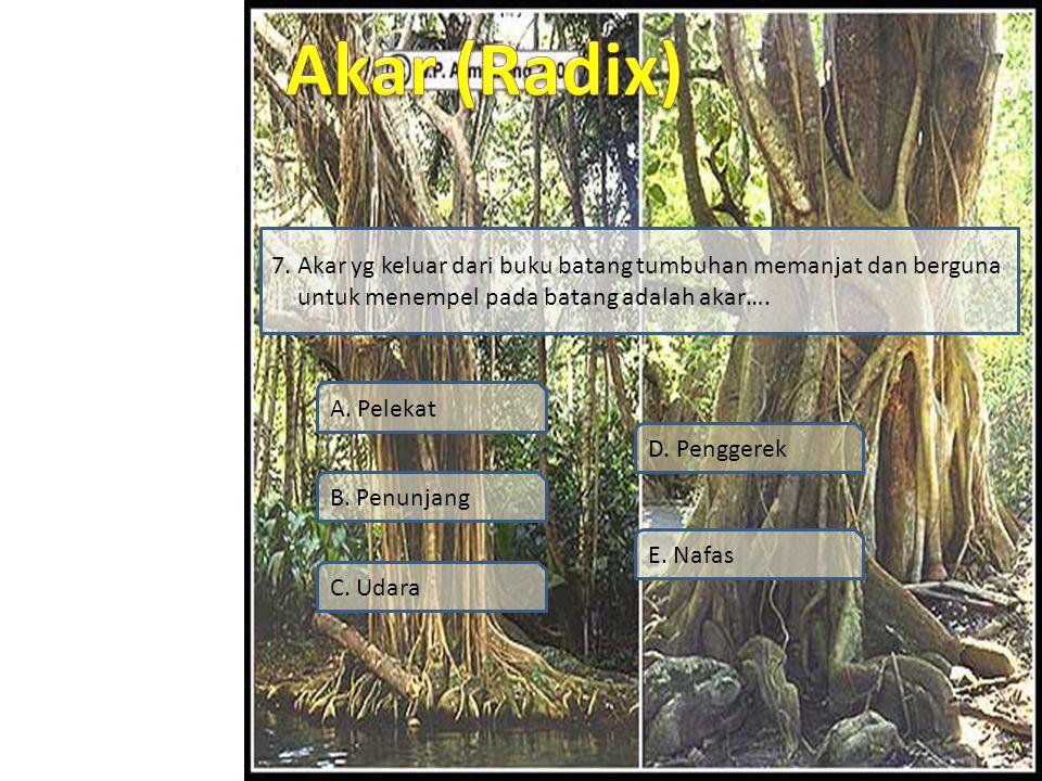 7. Akar yg keluar dari buku batang tumbuhan memanjat dan berguna untuk menempel pada batang adalah akar….