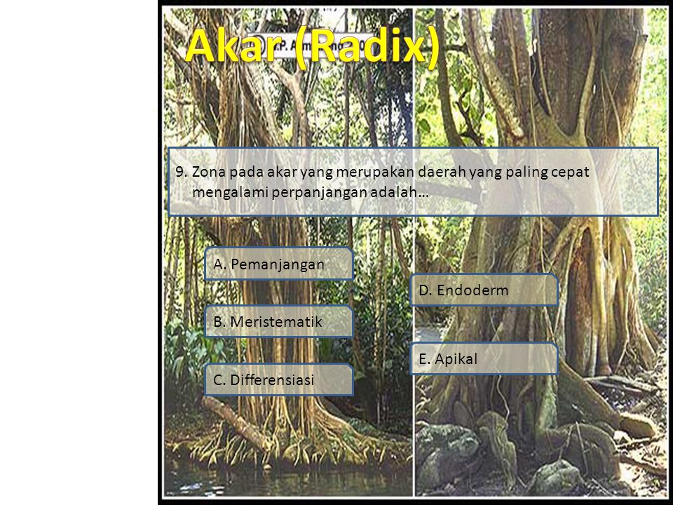 9. Zona pada akar yang merupakan daerah yang paling cepat mengalami perpanjangan adalah…