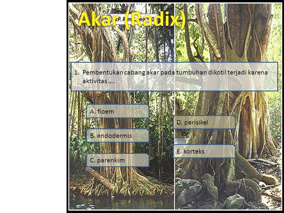 1. Pembentukan cabang akar pada tumbuhan dikotil terjadi karena aktivitas ….