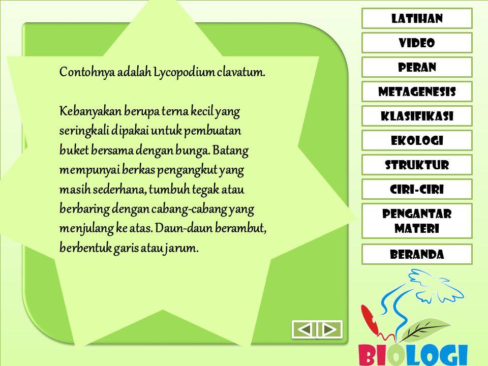Contohnya adalah Lycopodium clavatum.