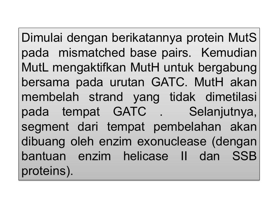Dimulai dengan berikatannya protein MutS pada mismatched base pairs