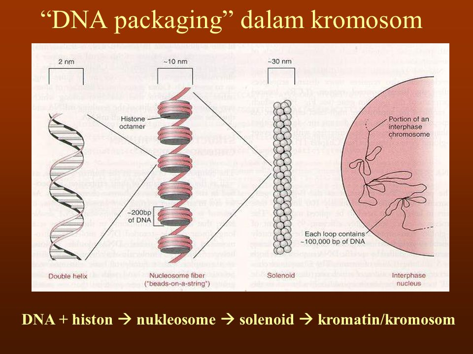 DNA + histon  nukleosome  solenoid  kromatin/kromosom