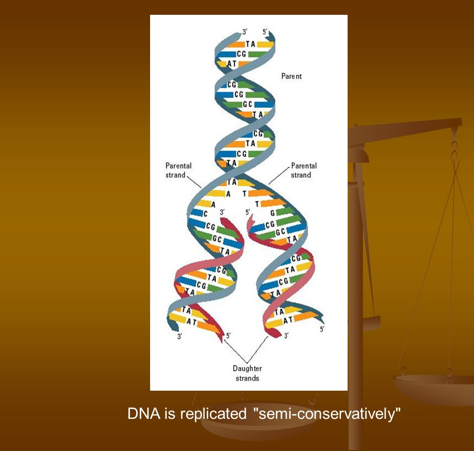 DNA is replicated semi-conservatively