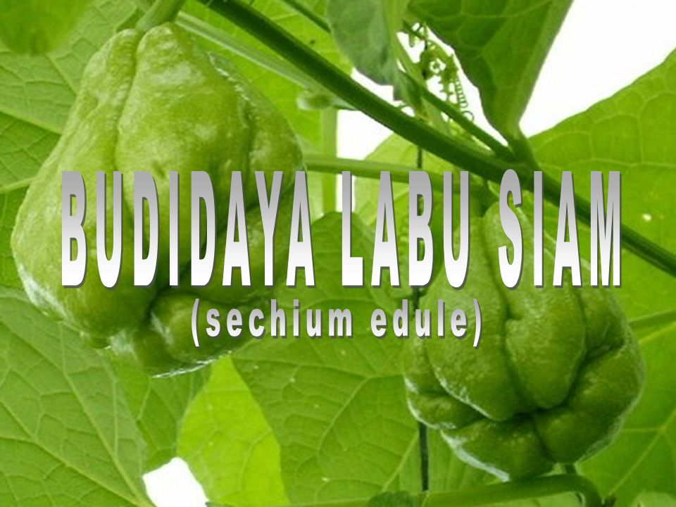 BUDIDAYA LABU SIAM (sechium edule)