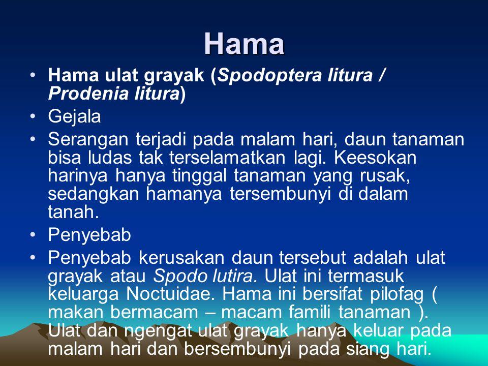 Hama Hama ulat grayak (Spodoptera litura / Prodenia litura) Gejala