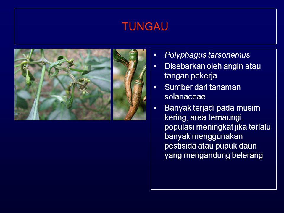 TUNGAU Polyphagus tarsonemus Disebarkan oleh angin atau tangan pekerja