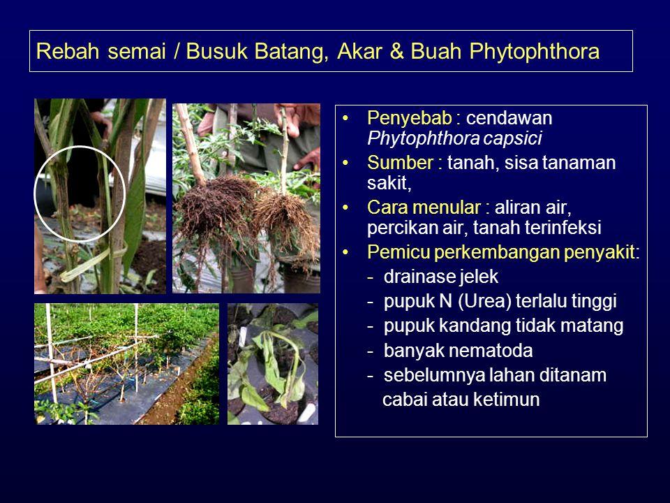 Rebah semai / Busuk Batang, Akar & Buah Phytophthora