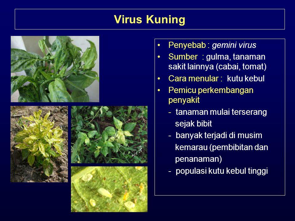 Virus Kuning Penyebab : gemini virus