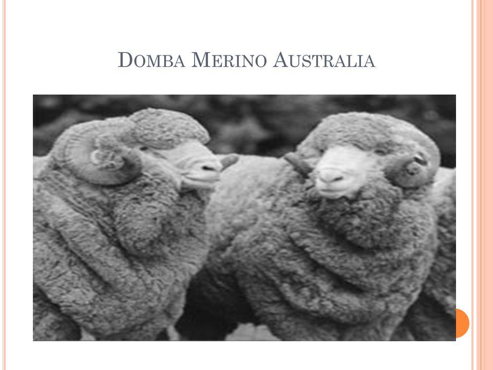 Domba Merino Australia