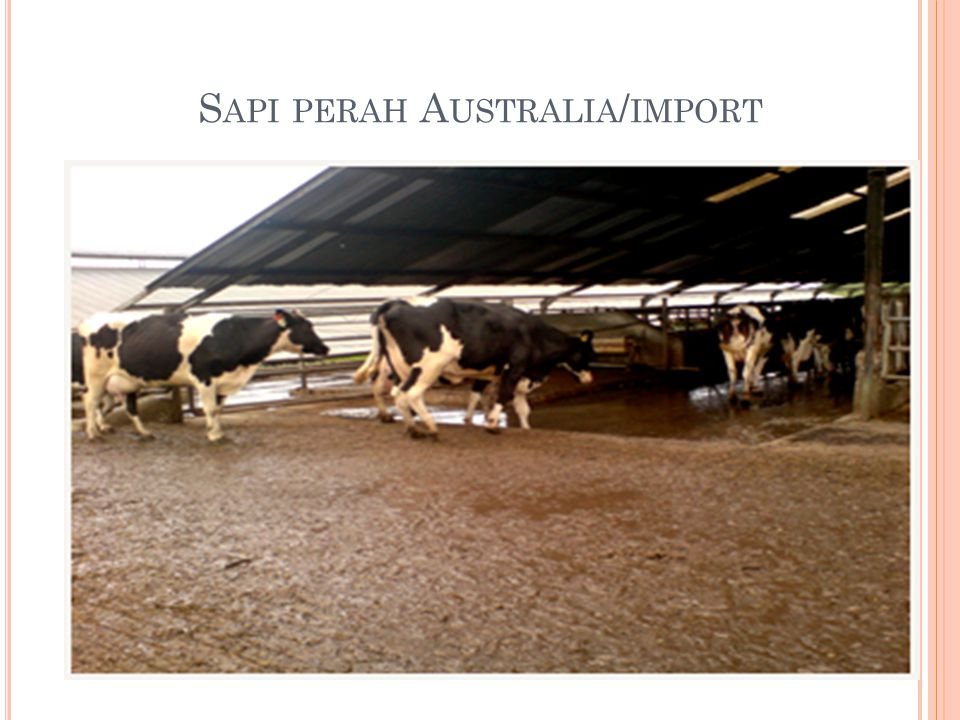 Sapi perah Australia/import