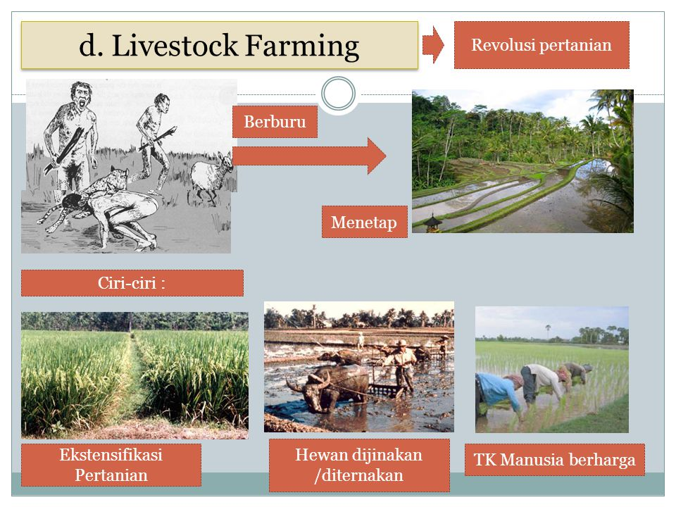 d. Livestock Farming Revolusi pertanian Berburu Menetap Ciri-ciri :