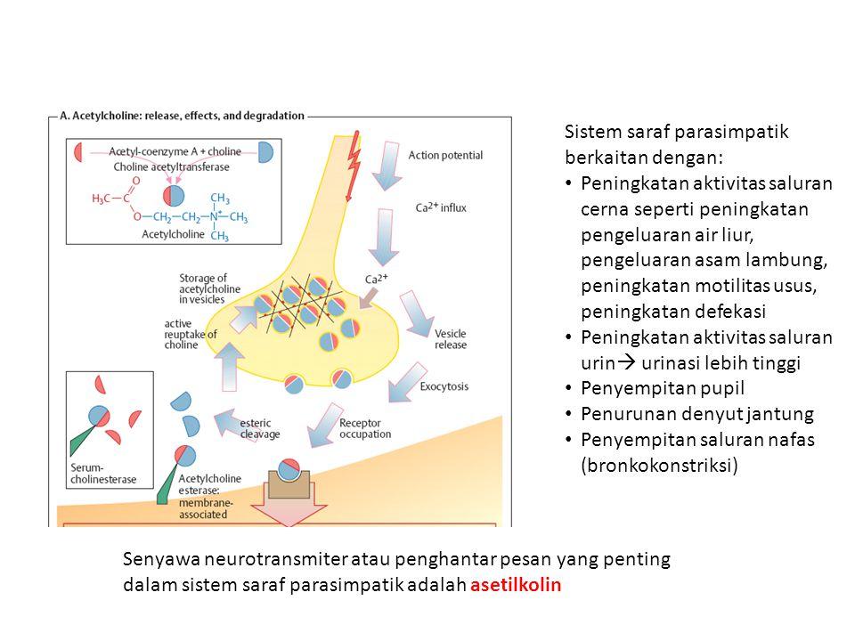 Sistem saraf parasimpatik berkaitan dengan: