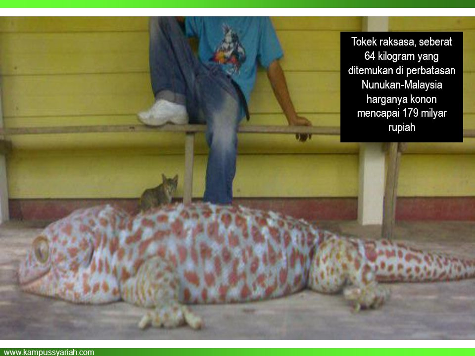 Tokek raksasa, seberat 64 kilogram yang ditemukan di perbatasan Nunukan-Malaysia harganya konon mencapai 179 milyar rupiah