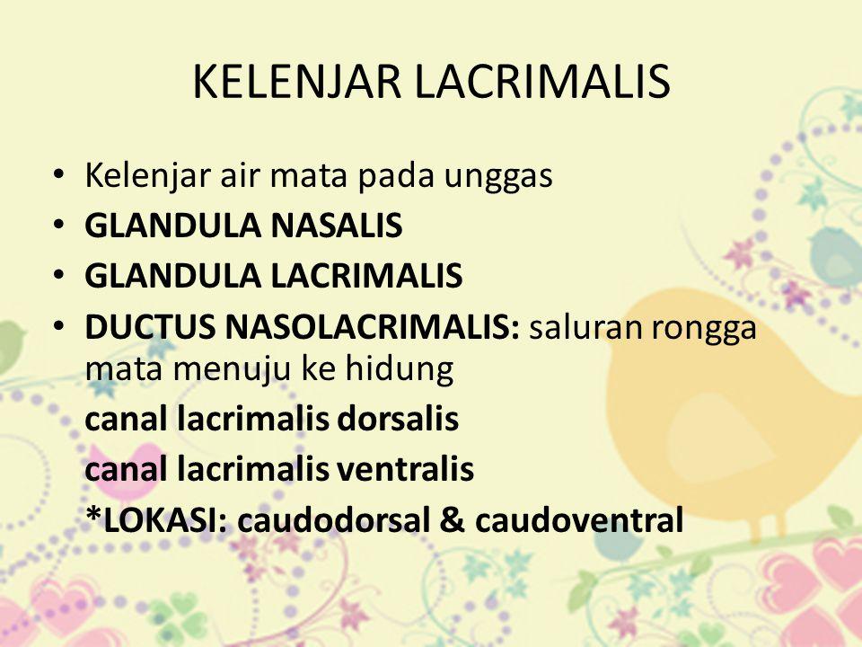 KELENJAR LACRIMALIS Kelenjar air mata pada unggas GLANDULA NASALIS