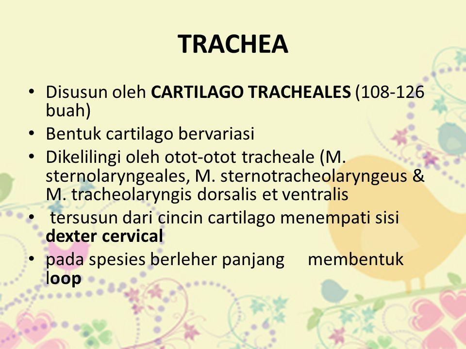 TRACHEA Disusun oleh CARTILAGO TRACHEALES (108-126 buah)