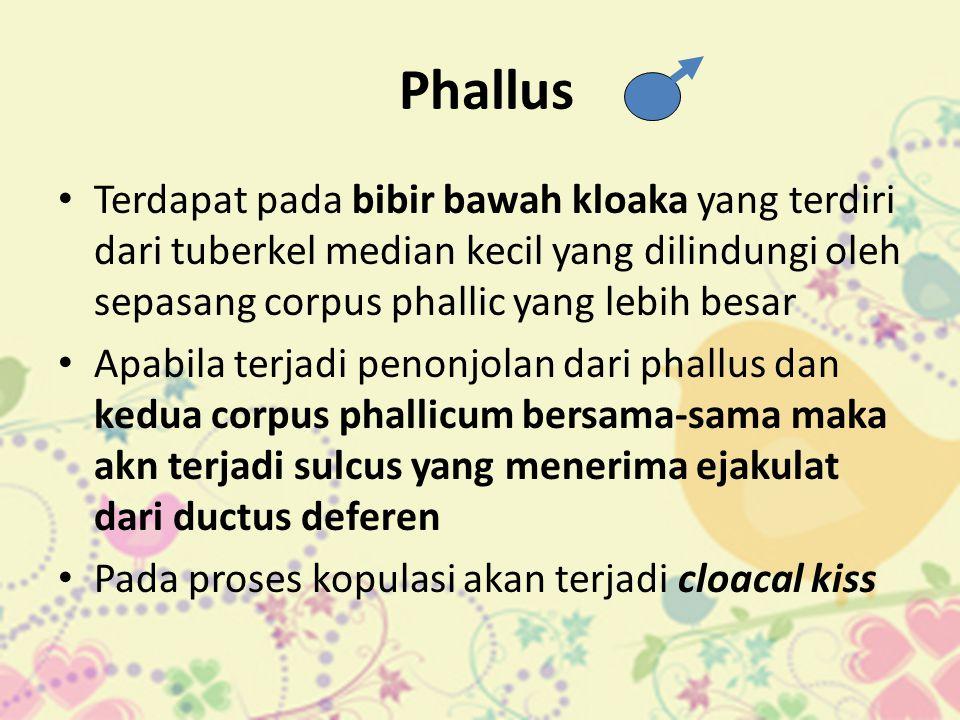 Phallus Terdapat pada bibir bawah kloaka yang terdiri dari tuberkel median kecil yang dilindungi oleh sepasang corpus phallic yang lebih besar.