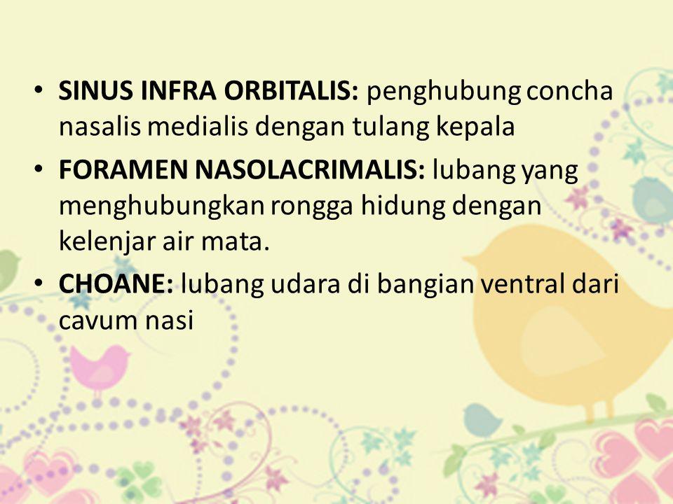 SINUS INFRA ORBITALIS: penghubung concha nasalis medialis dengan tulang kepala