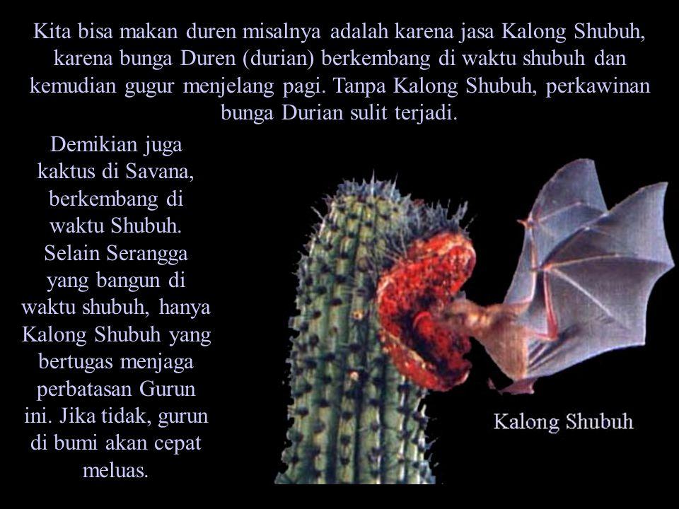 Kita bisa makan duren misalnya adalah karena jasa Kalong Shubuh, karena bunga Duren (durian) berkembang di waktu shubuh dan kemudian gugur menjelang pagi. Tanpa Kalong Shubuh, perkawinan bunga Durian sulit terjadi.