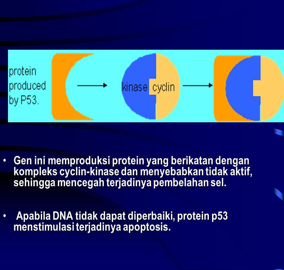 Gen ini memproduksi protein yang berikatan dengan kompleks cyclin-kinase dan menyebabkan tidak aktif, sehingga mencegah terjadinya pembelahan sel.