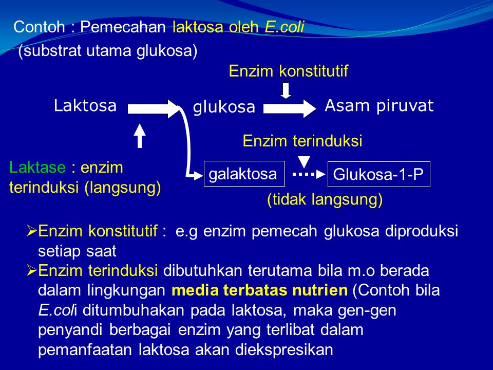 Contoh : Pemecahan laktosa oleh E.coli