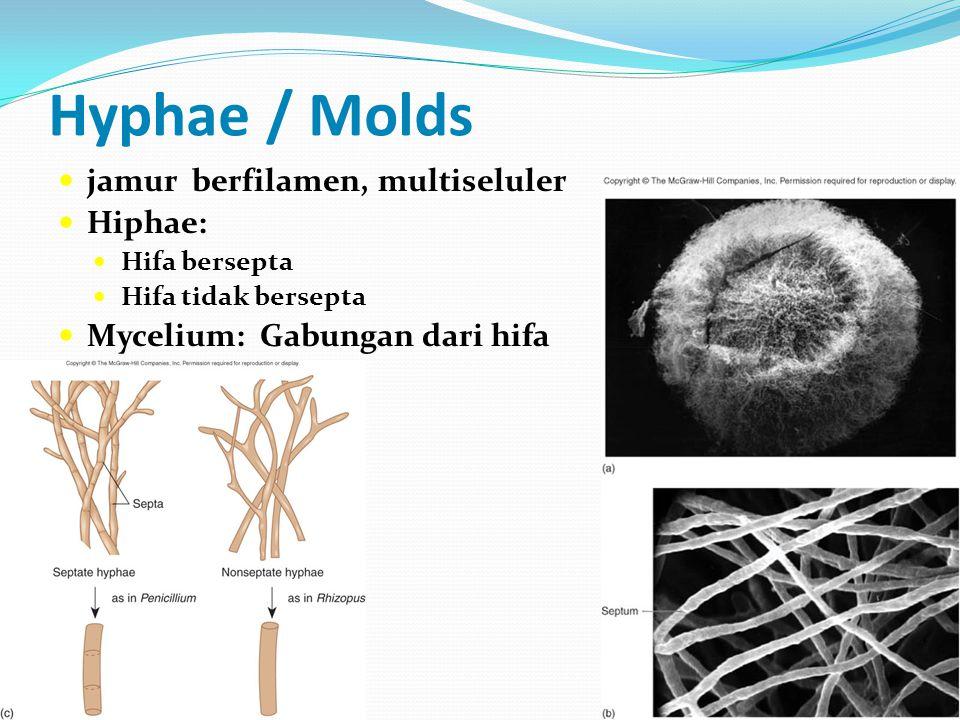Hyphae / Molds jamur berfilamen, multiseluler Hiphae: