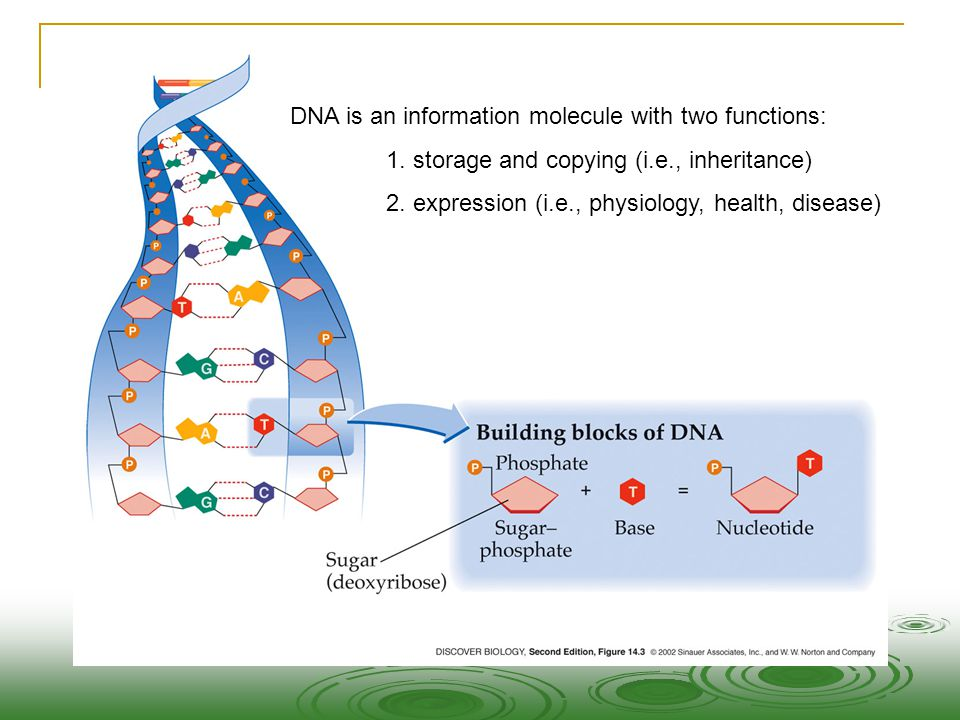 DNA is an information molecule with two functions:
