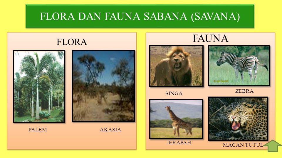 FLORA DAN FAUNA SABANA (SAVANA)