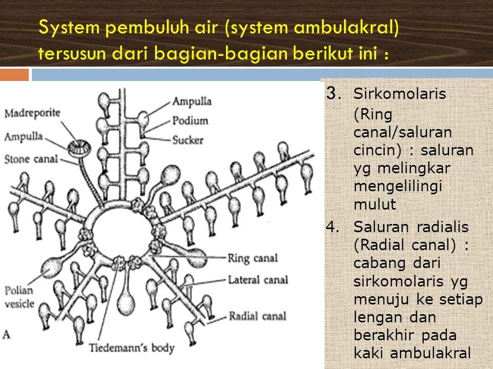 System pembuluh air (system ambulakral) tersusun dari bagian-bagian berikut ini :